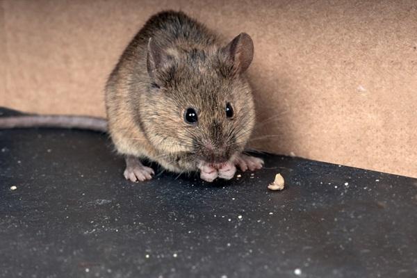 في منزلنا فأر !! إليكِ كيفية التخلص منه بسرعة؟!